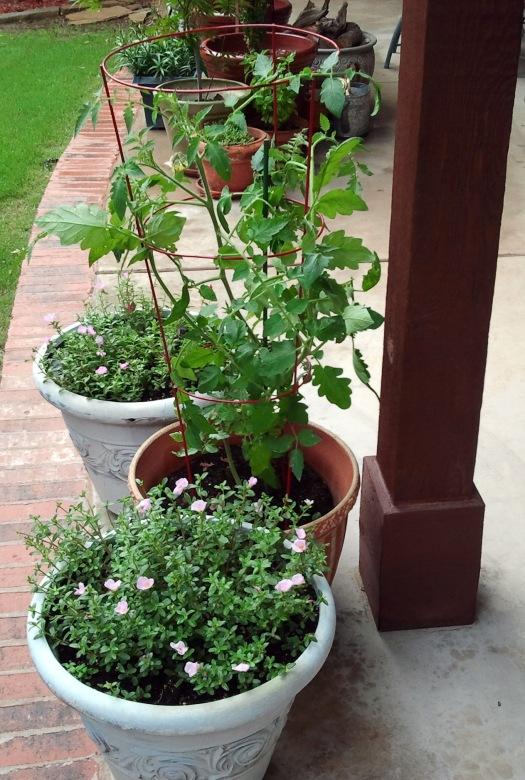 The Tomato Plant